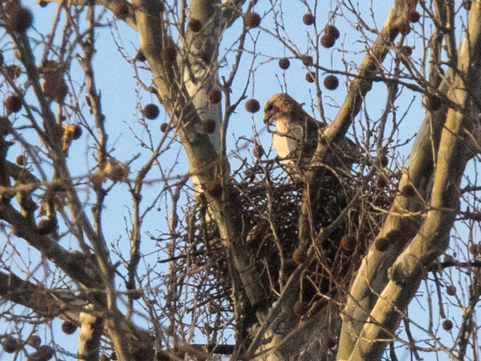 Hawk in nest