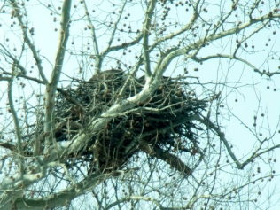 Eagles in nest
