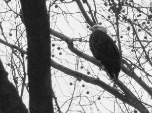 Eagle at Carrillon Park